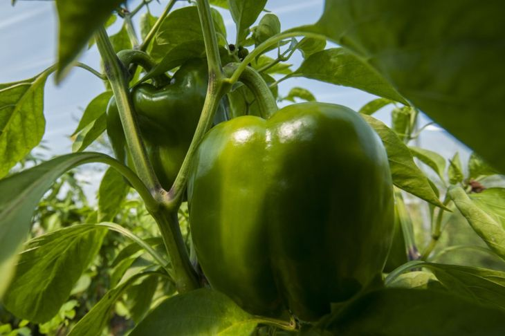 Bell peppers on plant