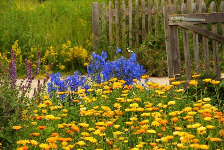 Calendula patch in a flower garden