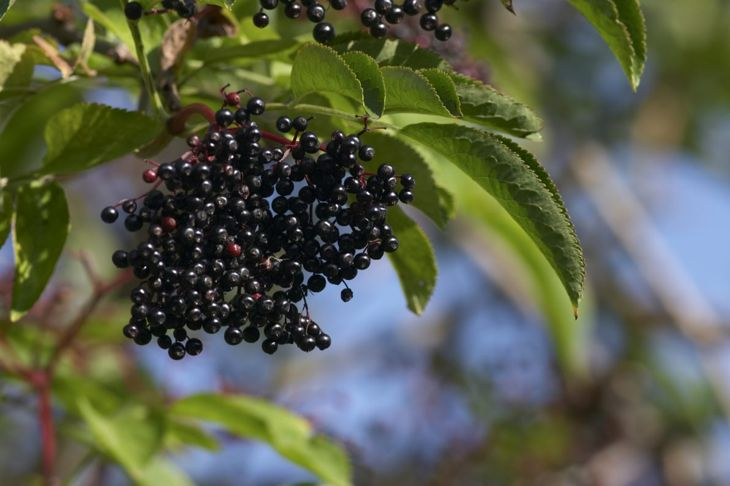 At an ideal moisture intake of one inch per week, elderberries prefer a moist environment—as long as they have good drainage.