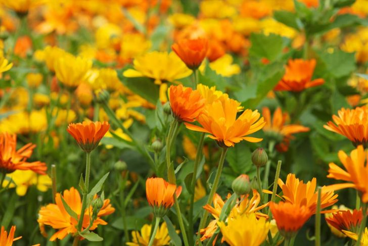 Calendula flower patch