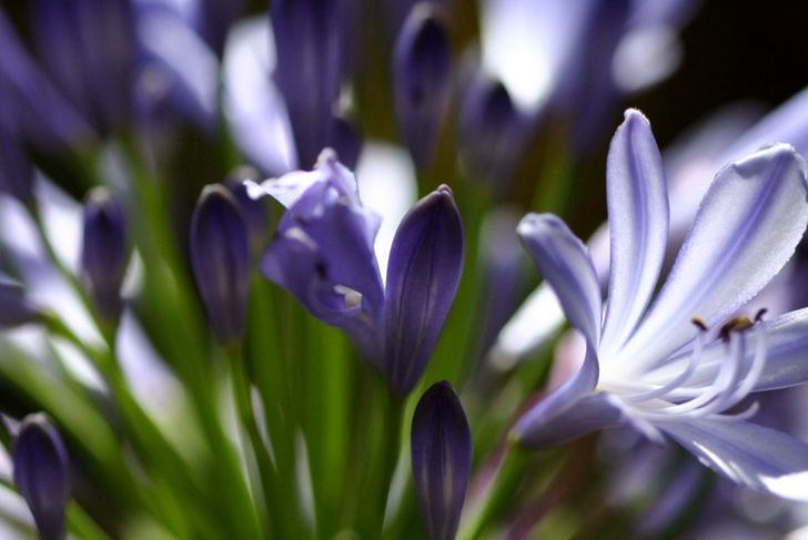 Plant your agapanthus 2 inches deep when the frost has passed.