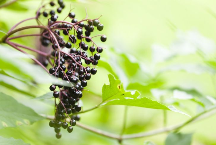 Though not requiring any rare nutrients, the elderberry does best with ammonium nitrate or 10-10-10 NPK fertilizer.