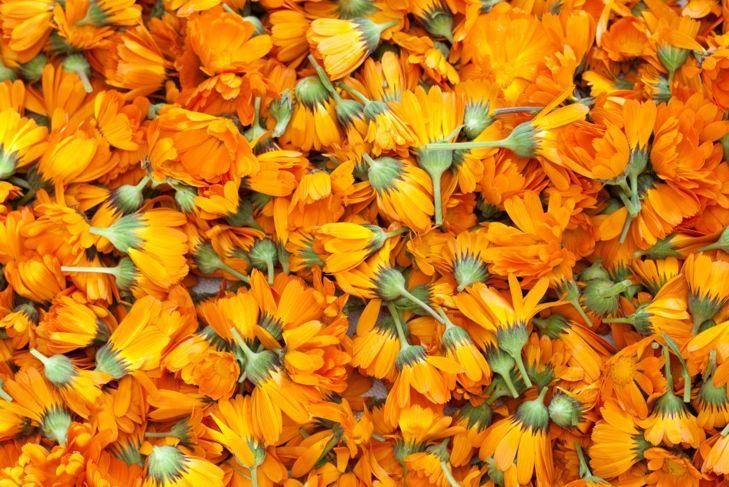 Harvested calendula flowers