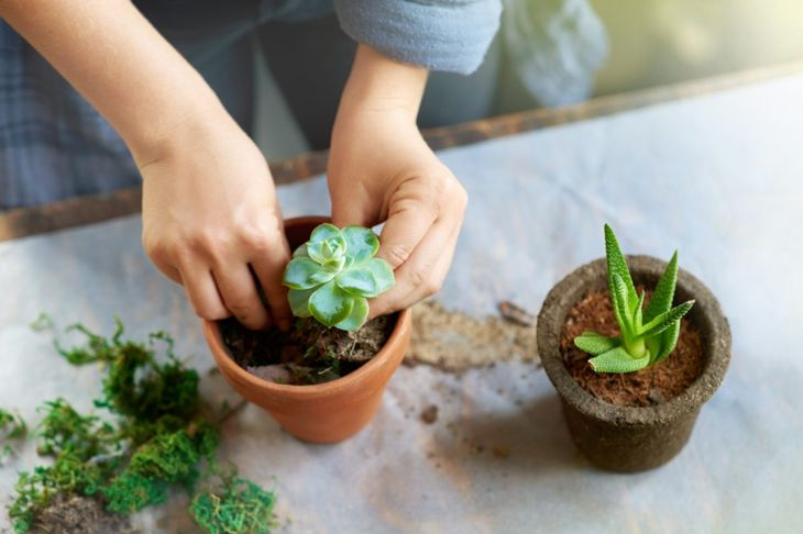 Planting succulents at table.