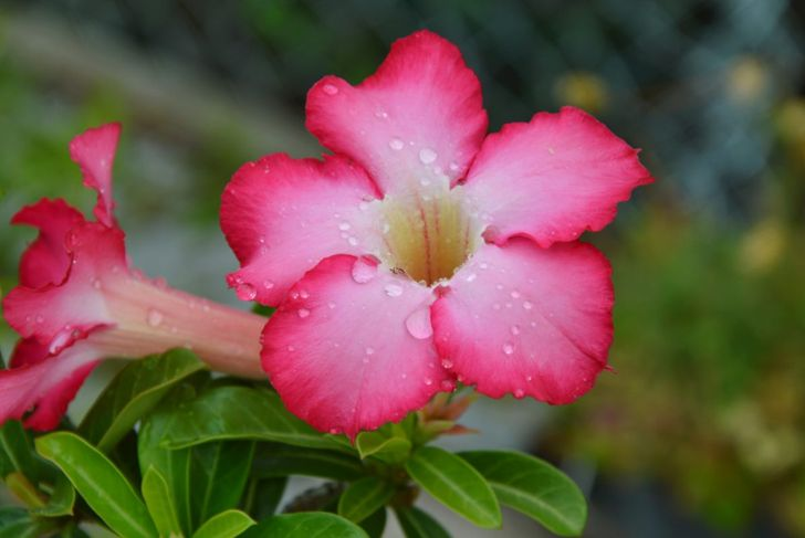 Absorbing more water in the spring than in the winter, the watering needs of the desert rose change with the season.