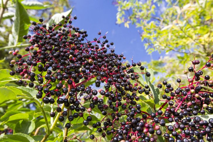At 12 feet tall and 6 feet wide, elderberries need sufficient space to thrive.