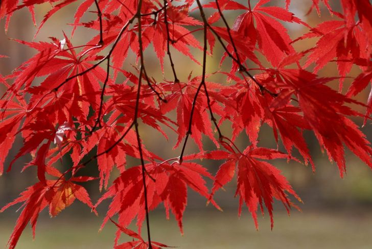 If given enough water and shade, the ribbon leaf maple will dazzle with its thin bronze foliage.