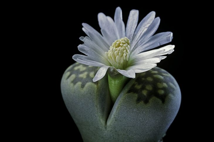 Lithops in bloom