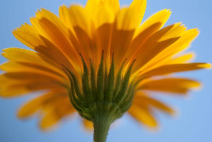Calendula in the sunlight