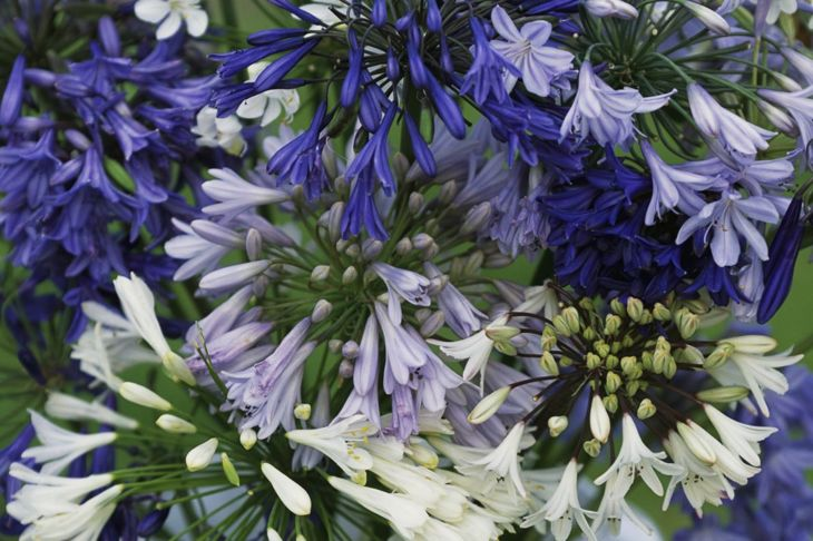 When your agapanthus has grown large enough, divide it out and get even more blooms.