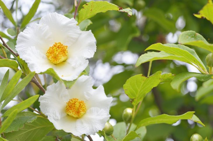 The japanese stewartia is cheery and hardy, but might grow taller than you'd like.