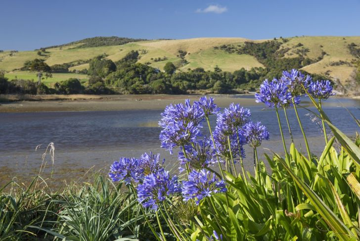 At a maximum potential height of six feet, the African lily needs room to thrive.