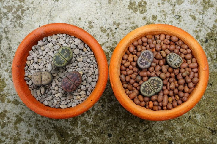 Healthy lithops in clean soil