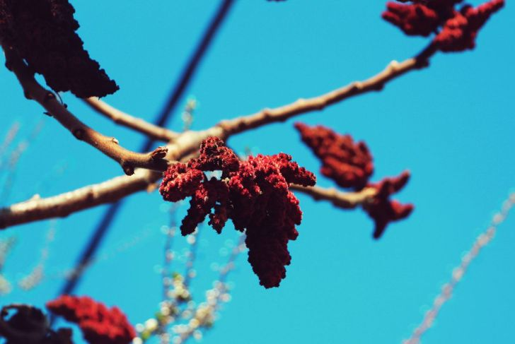 The radiant tiger eyes sumac will remain a moderate height.