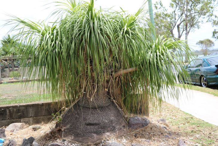 large ponytail palm in a garden