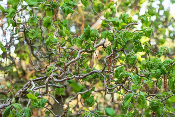 corkscrew filbert dwarf tree