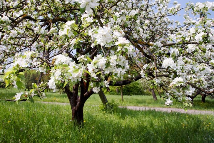 drawf trees crabapple