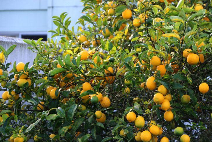 drawf tree meyer lemon