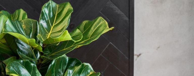 Welcome the Fiddle Leaf Fig to Your Home