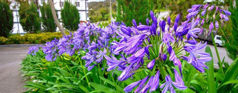 Dazzling Agapanthus Will Transform Your Garden