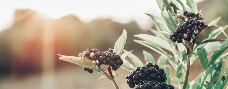Respect Your Elders: Growing an Elderberry Plant