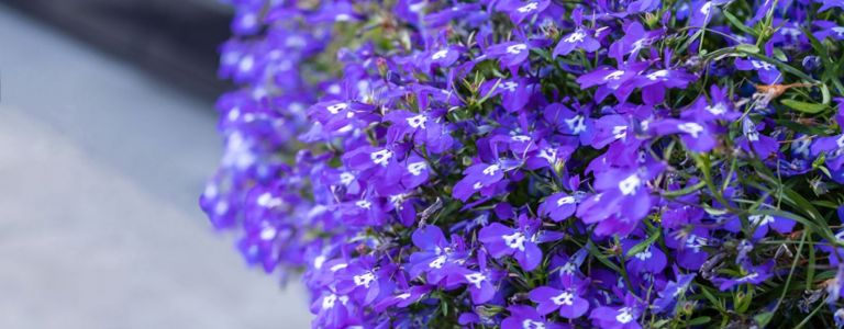 Welcome Color and Wildlife with the Lobelia