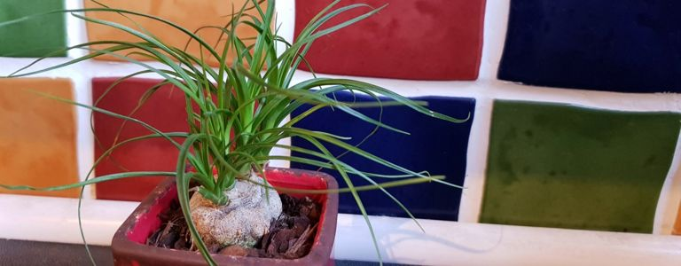 The Ponytail Palm: An Ideal Houseplant