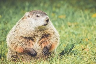How to Get Rid of Groundhogs For Good