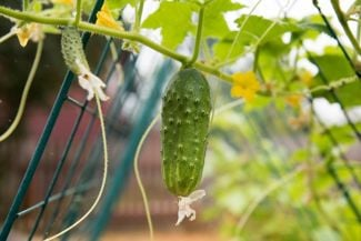 Growing Healthy Cucumbers on a Trellis