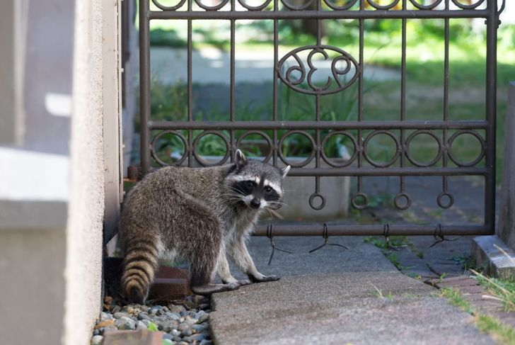 a raccoon by a fence