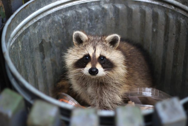 a raccoon in a garbage can