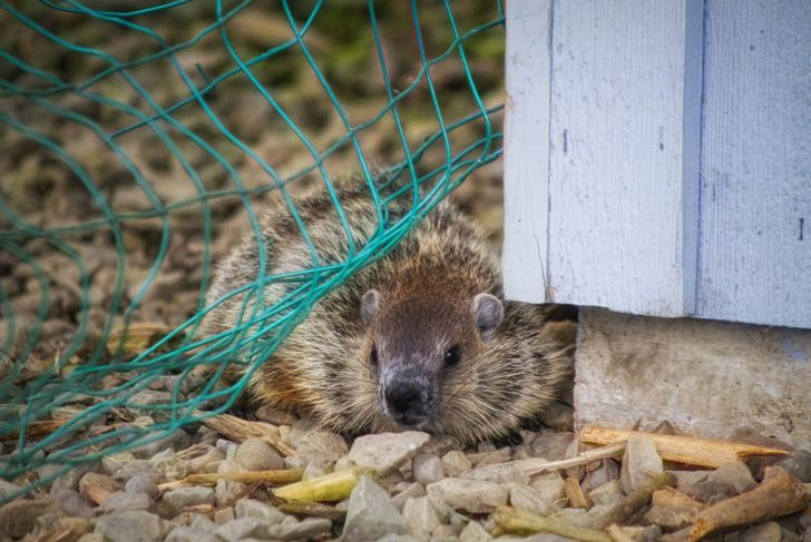 a groundhog sits behind the fence
