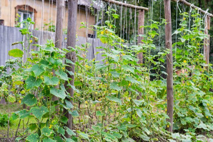 String cucumber trellis