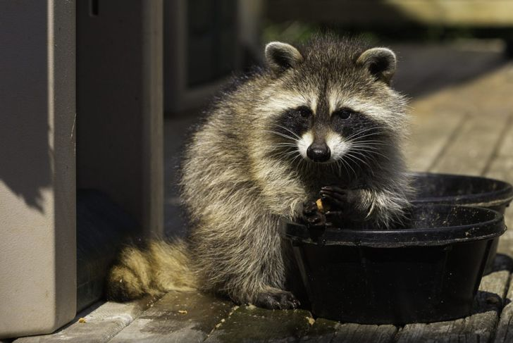 a raccoon eating from a dish