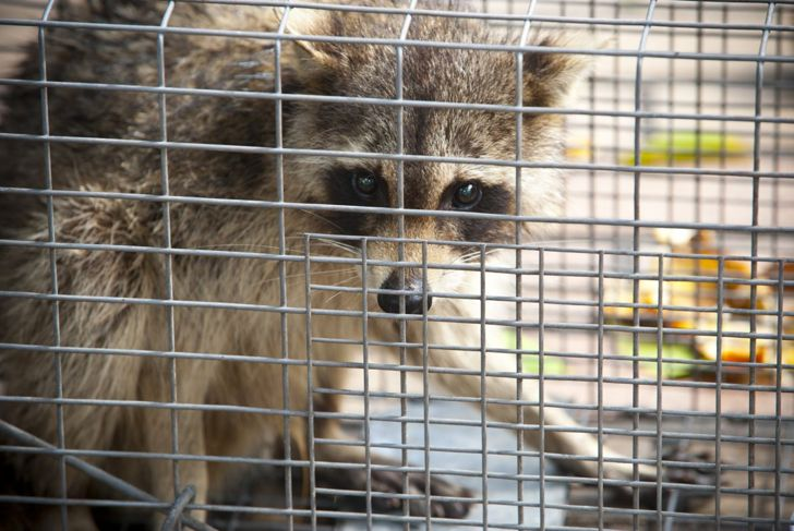 a raccoon in a trap