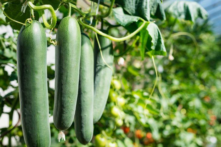 Fresh ripe cucumbers in a row