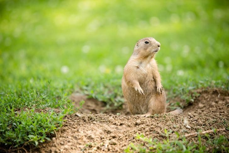 groundhog stands in the grass