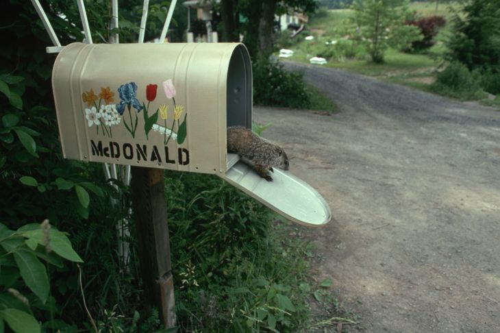 a groundhog in someone's mailbox
