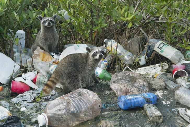 raccoons eating trash