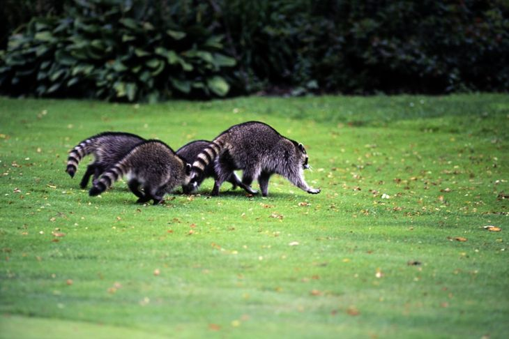 raccoons on the lawn