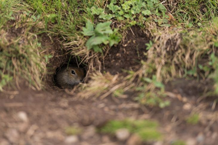 groundhog in its burrow