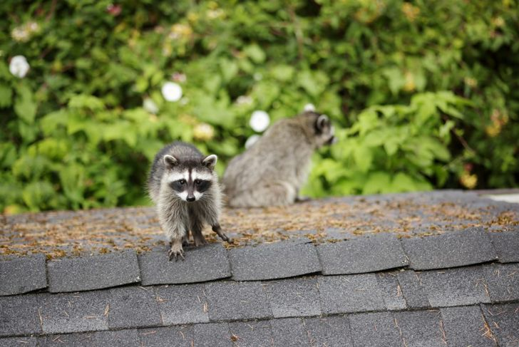raccoons on the roof