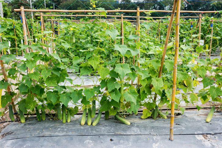 Cucumber growing on a wood trellis