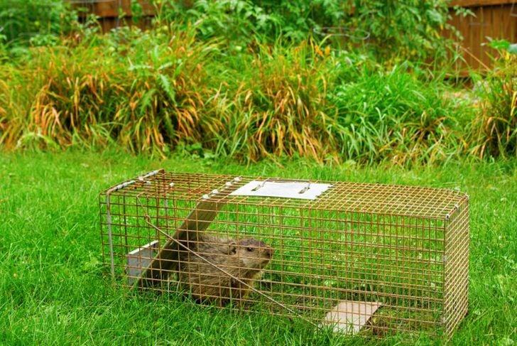 groundhog box trap