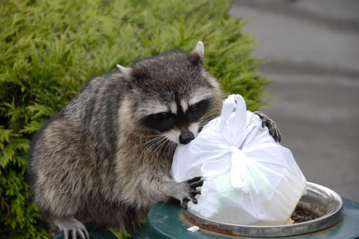 a raccoon eating garbage