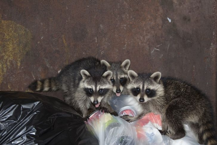 a family of raccoons