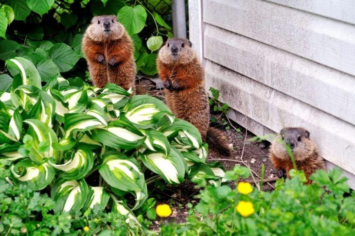 woodchucks in the garden