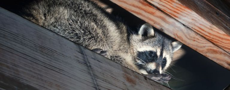 Harmless Ways to Get Rid of Raccoons