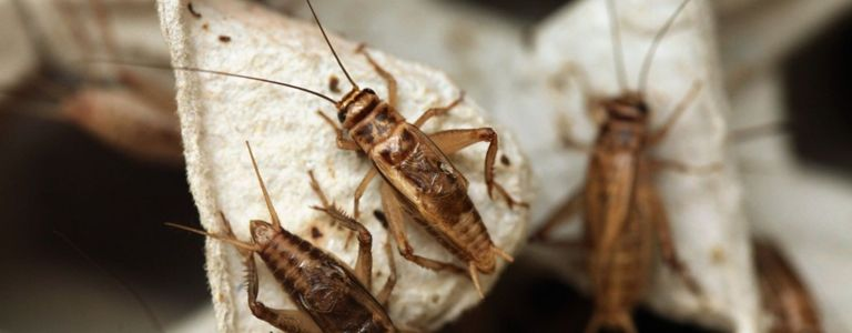 Innovative Ways to Rid Your Home of Crickets