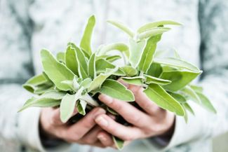 Sage: A Versatile, Easy-to-Grow Herb